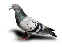 Pigeons d ratisation direct - Punaise de lit transmission ...